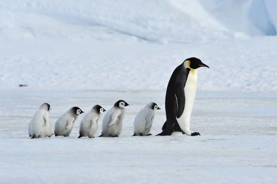 Climate Change To Drive Emperor Penguins To Extinction By 2100