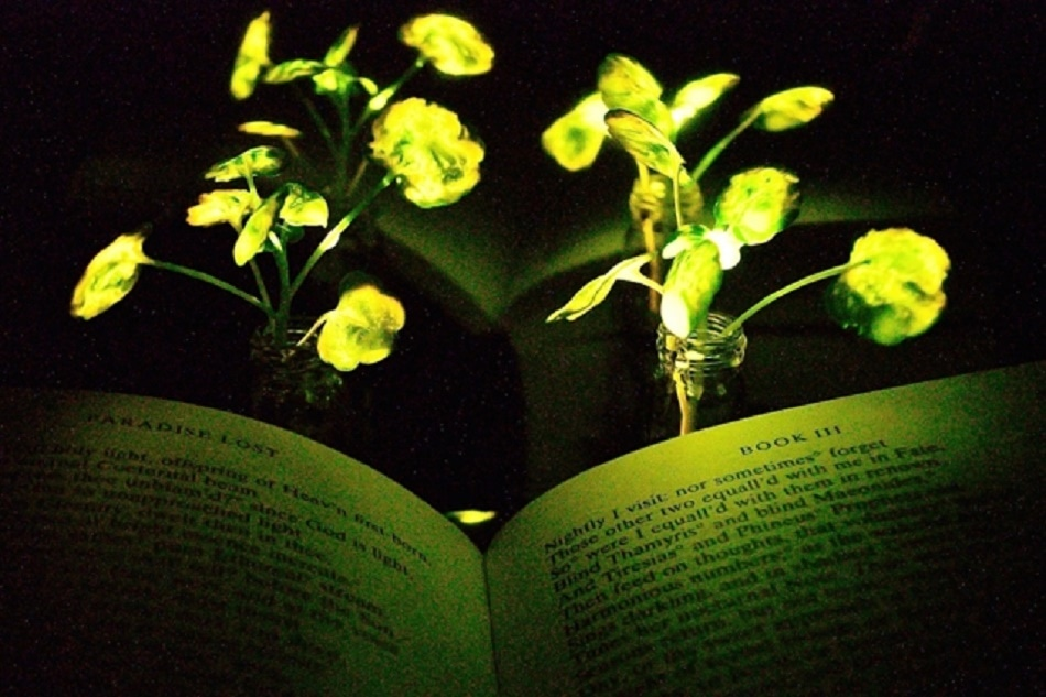 MIT Creates Glow-In-The-Dark Plants