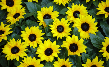 How Tiny Artificial Sunflowers Track and Harvest Solar Energy
