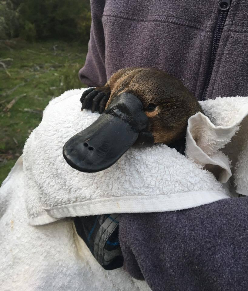 Platypus on Brink of Extinction