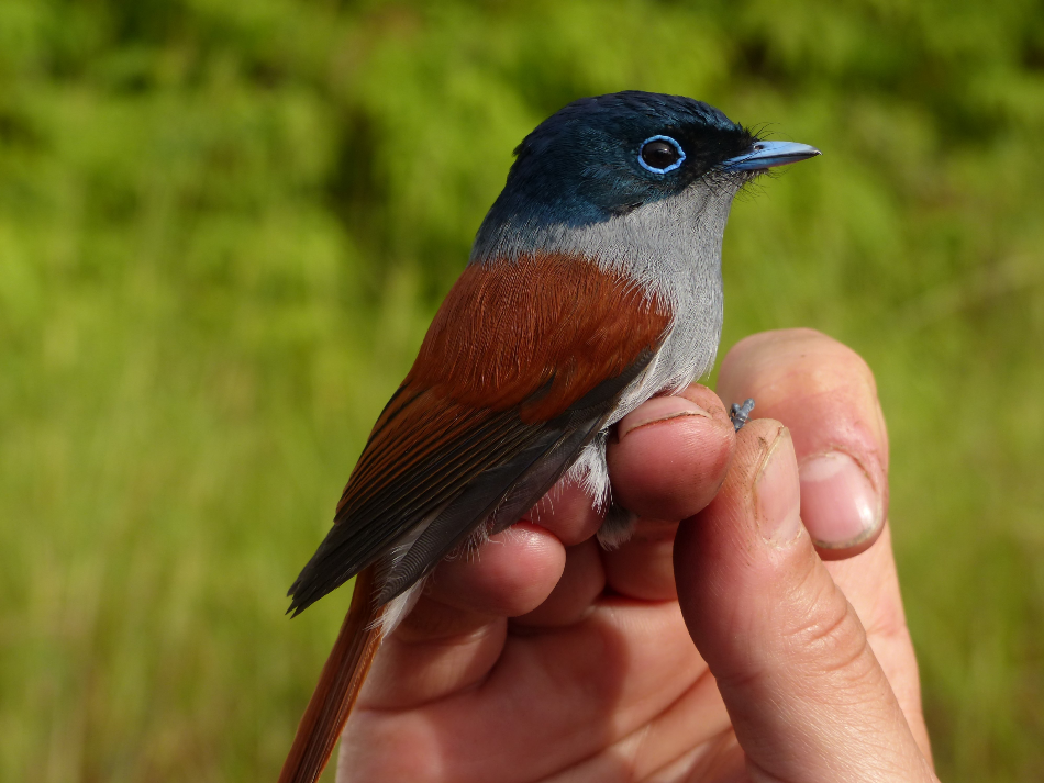Biologists Uncover Shape of Fundamental Global Relationships that Determine Bird Diversity on Islands