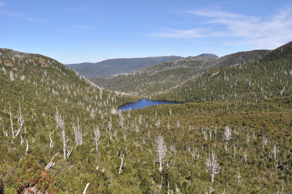 Dead Billy King pines in Tasmania's ancient temperate rainforest