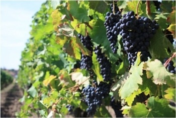 UPM Researchers Explore Effects of Climate Change on Spanish Vineyards