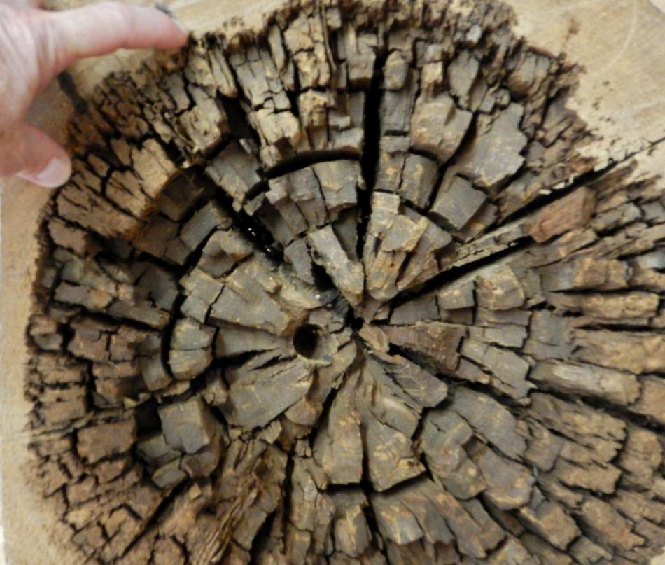 Researchers Zero in on Brown Rot Fungi for Efficient Biomass Conversion