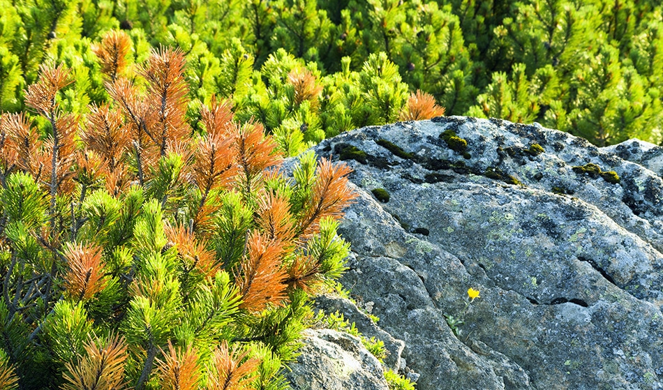 Increased UV From Ozone is Sterilizing Trees