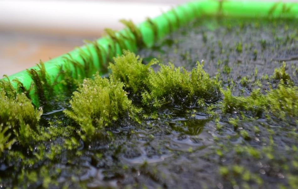 Researchers Discover Aquatic Moss that Removes Arsenic from Drinking Water