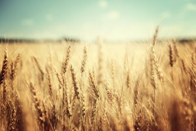 Higher CO2 Levels Increase Wheat Production but Lower