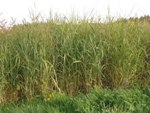 Scientists Discover Genetic Diversity Enhances Productivity Yields of Switchgrass