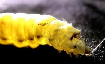 How Silkworms Spin Silk Could Pave Way to Greener Methods of Creating Synthetic Fibers