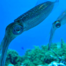 Squid Ring Teeth Protein Offers Potential to be an Eco-friendly Plastic Alternative