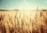 Rising CO2 Levels Could Boost Wheat Yield but Slightly Reduce Nutritional Quality