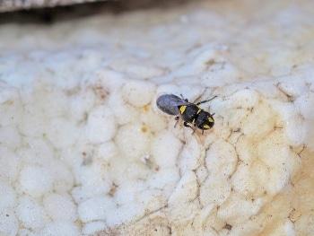Curtin Study Finds Native Bees Turning to Polystyrene for Nesting Places
